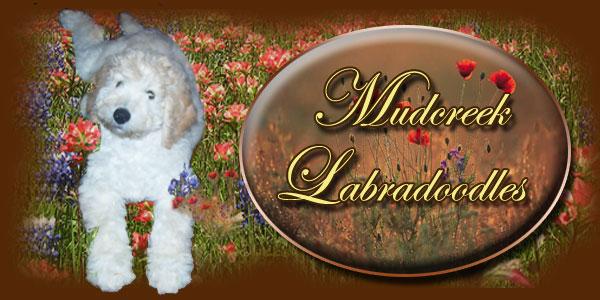 Australian Labradoodle Puppies For Sale Breeders Mudcreek